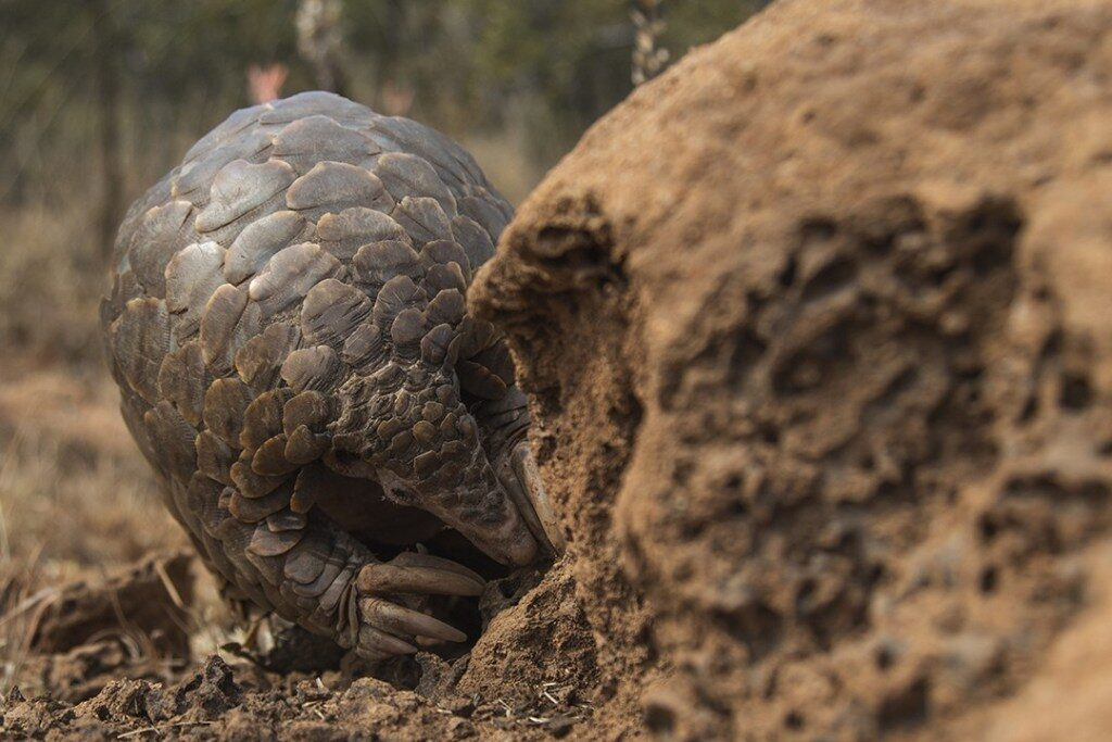 CM-Travels-Temmincks-Ground-Pangolin-photo2