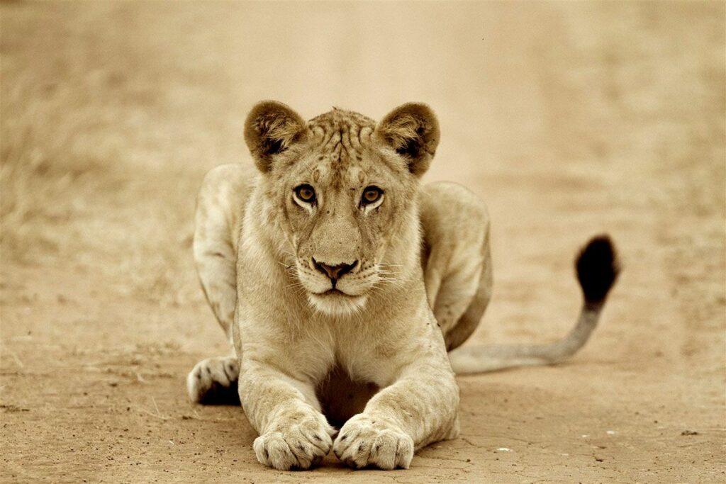 CM-Travels-beho-beho-tanzania-selous-camp-secretary-lion