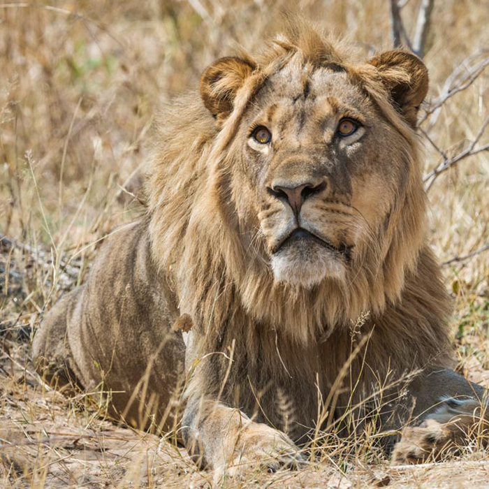 Machaba-Safaris-verneys-camp-male-lion