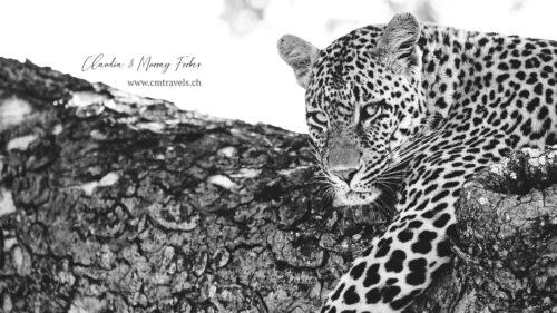 southafrica-leopard-cmtravels-wildlife