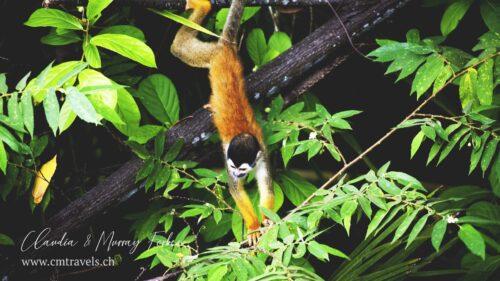 costarica-squirrelmonkey-cmtravels-wildlife