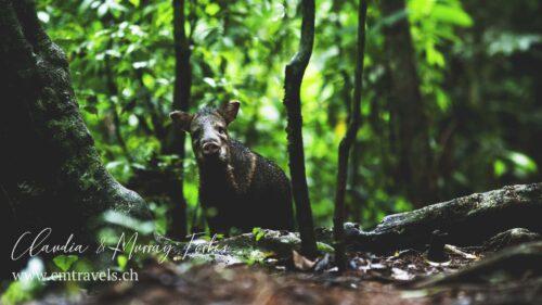 costarica-peccary-cmtravels-wildlife