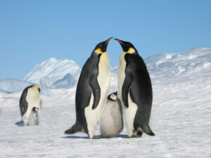 cm-travels-antartica-wildlife-nature-white-desert-camp-emperor-penguins-ulitmate-luxury-private-mother-father-chick