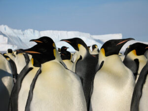 cm-travels-antartica-wildlife-nature-white-desert-camp-emperor-penguins-ulitmate-luxury-private-colony