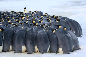 cm-travels-antartica-wildlife-nature-white-desert-camp-emperor-penguins-ulitmate-luxury-private-colony-huddle