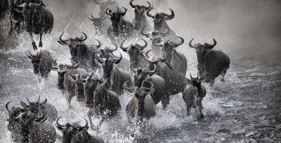 cm-travels-tanzania-wildlife-nature-serian-serengeti-camp-wildebeest-migration-cross-the-mara-with-water-splashing