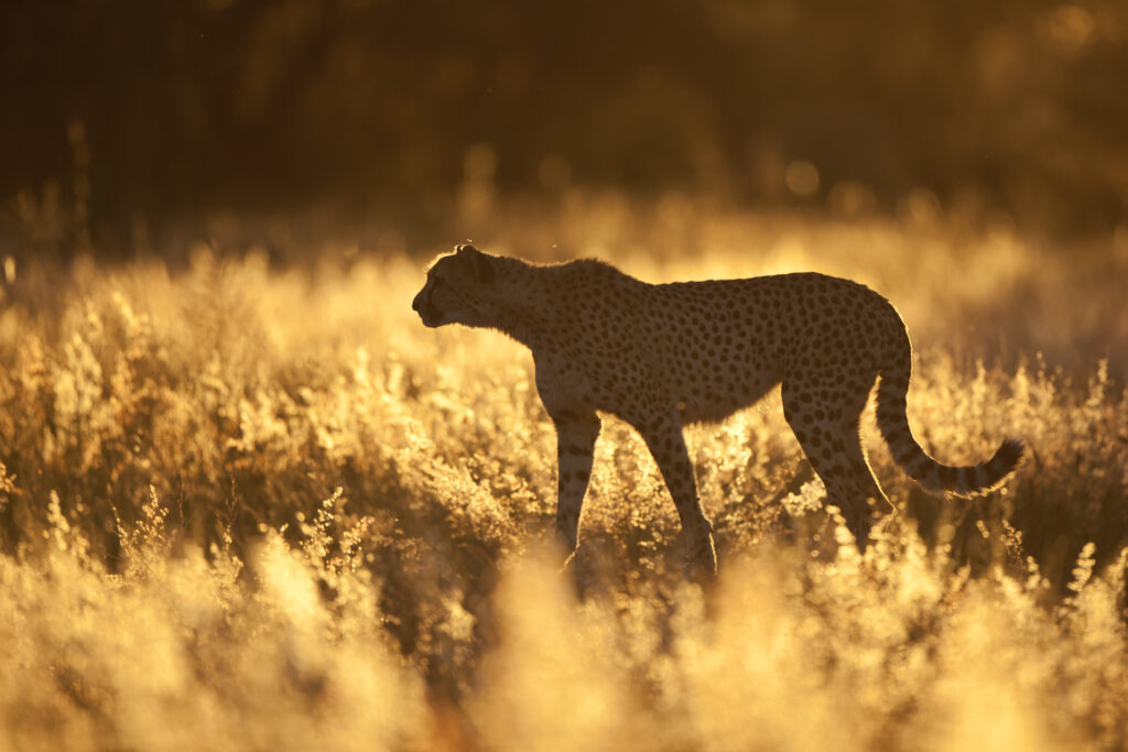 cheetah-okonjima-bushcamp-namibiacamps-nature-cm-travels-africat-foundation
