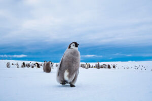 cm-travels-antartica-wildlife-nature-white-desert-camp-emperor-penguins-ulitmate-luxury-private-chick