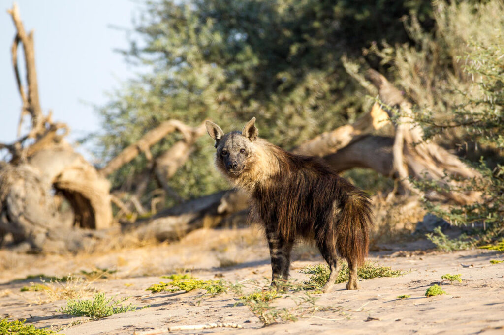 brown-hyena-wilderness-safari-hoanib-river-nature-cm-travels