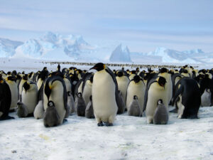 cm-travels-antartica-wildlife-nature-white-desert-camp-emperor-penguins-ulitmate-luxury-private-colony-close-up