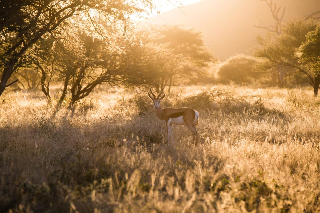 spingbok-okonjima-bushcamp-namibiacamps-nature-cm-travels-africat-foundation