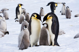 cm-travels-antartica-wildlife-nature-white-desert-camp-emperor-penguins-ulitmate-luxury-private-colony-proud-parents