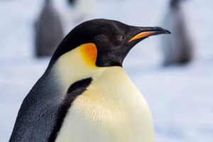 cm-travels-antartica-wildlife-nature-white-desert-camp-emperor-penguins-ulitmate-luxury-private-colony-portrait