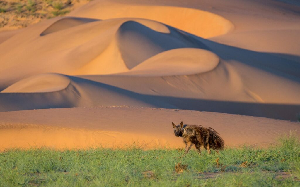 brown-hyena-desert-adapted-animals-wilderness-safaris-nature-cm-travels