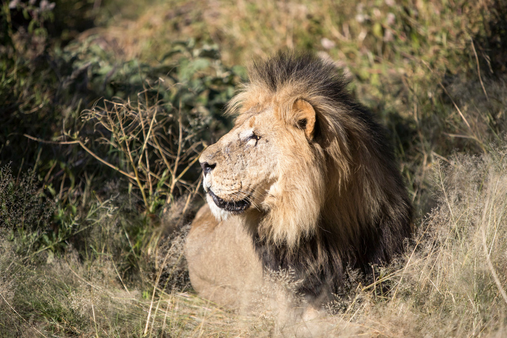 erindi-old-traders-lodge-cm-travels-namibia-wildlife-nature-safari-camp-male-lion