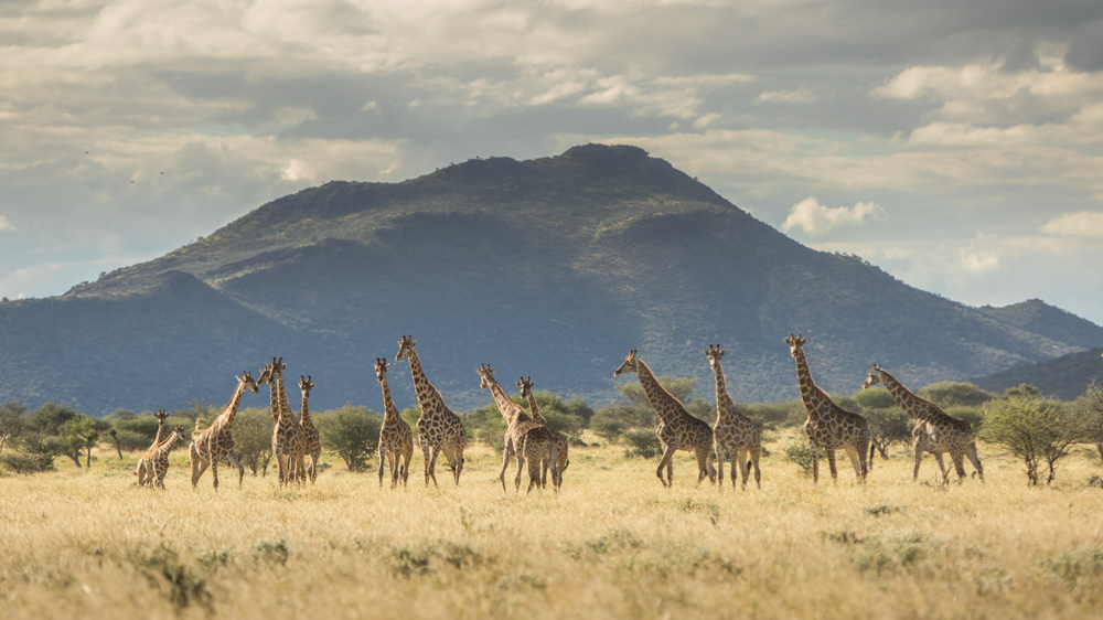 erindi-old-traders-lodge-cm-travels-namibia-wildlife-nature-safari-camp-giraffe-herd