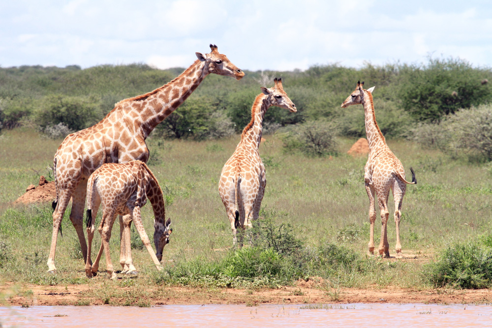 erindi-old-traders-lodge-cm-travels-namibia-wildlife-nature-safari-camp-young-giraffe
