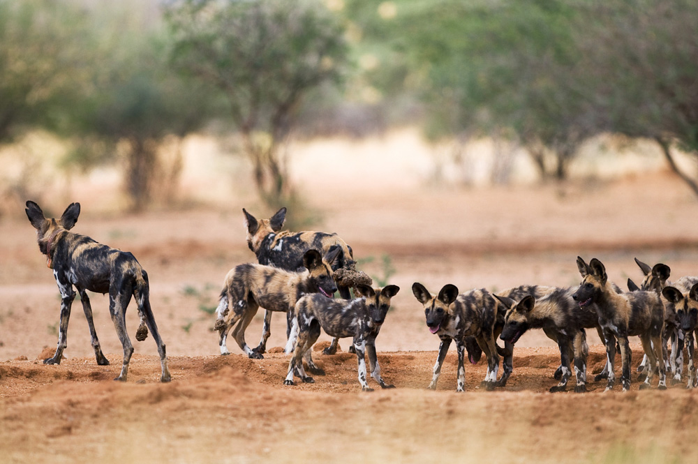 erindi-old-traders-lodge-cm-travels-namibia-wildlife-nature-safari-camp-painted-wolves-pups