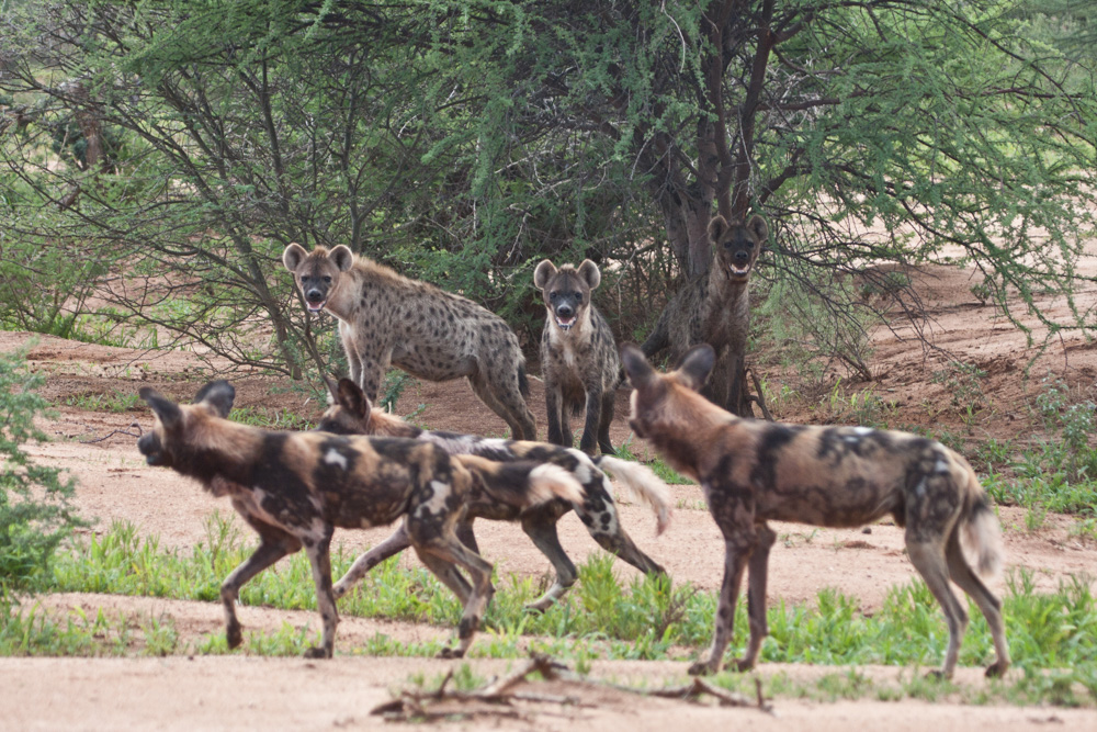 erindi-old-traders-lodge-cm-travels-namibia-wildlife-nature-safari-camp-hyena-wilddog-painted-wolves