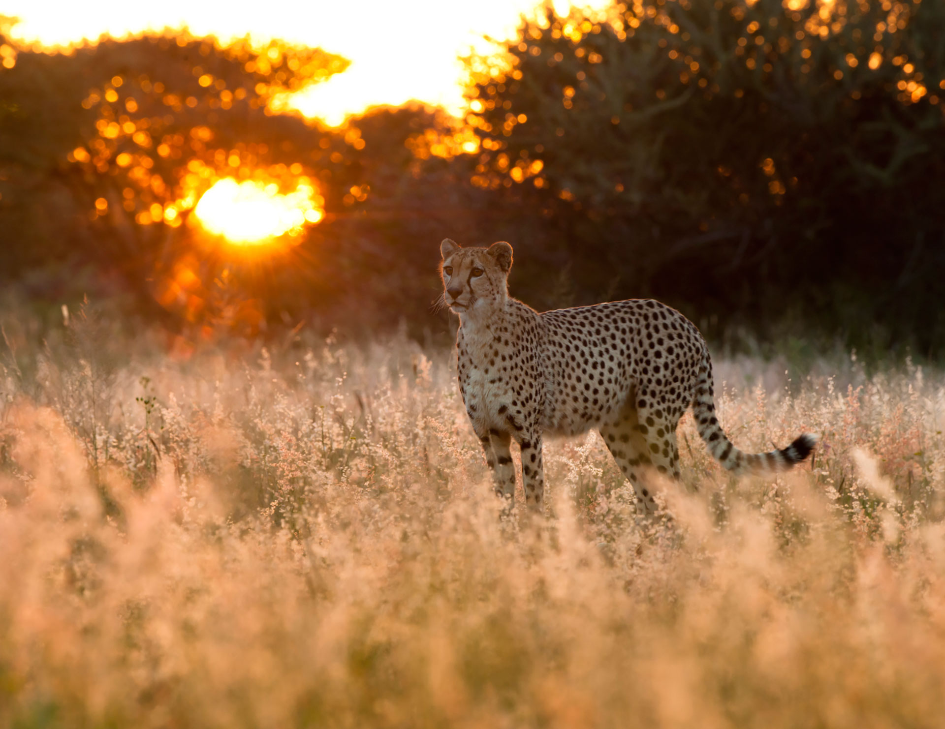 cheetah-sunrise-okonjima-bushcamp-namibiacamps-nature-cm-travels-africat-foundation