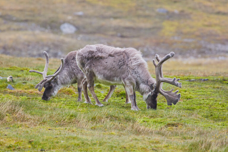 cm-travels-artic-wildlife-nature-polar-bear-ulitmate-luxury-svarlbard-reindeer