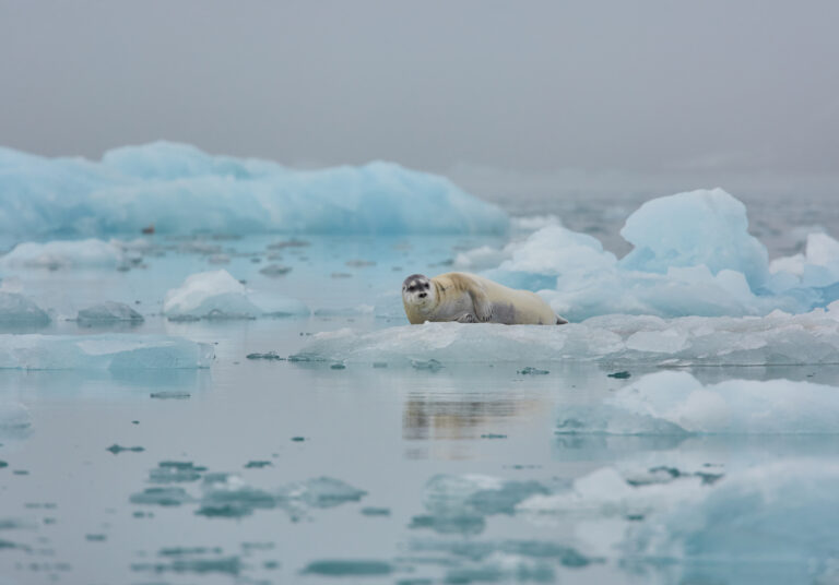 cm-travels-artic-wildlife-nature-polar-bear-ulitmate-luxury-svarlbard-fur-seal