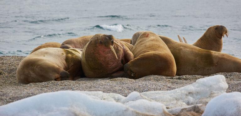cm-travels-artic-wildlife-nature-polar-bear-ulitmate-luxury-svarlbard-walrus