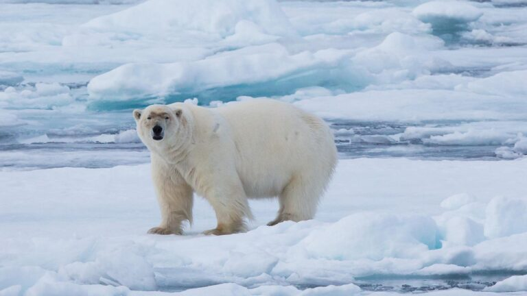 cm-travels-artic-wildlife-nature-polar-bear-ulitmate-luxury-svarlbard-extremely-large-polar-bear