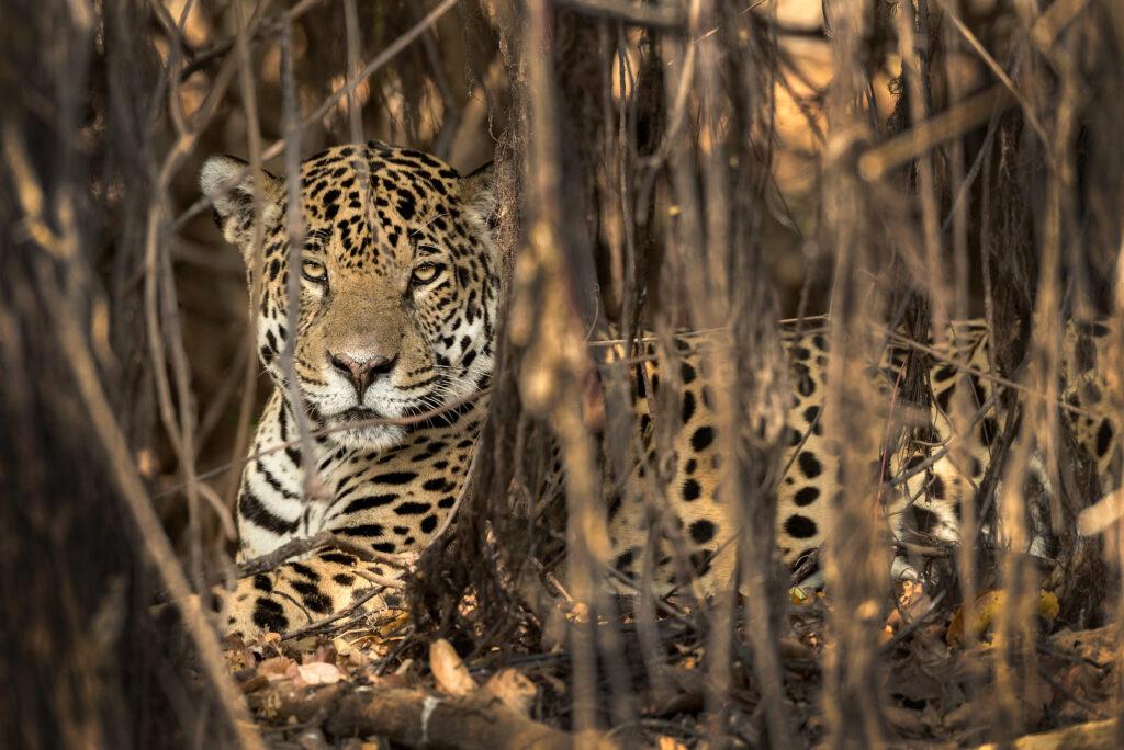 Jaguar-Safari-Wildlife-Natur-Luxus-Reisen-Fotografie-CM-Reisen-Jaguar-hiding