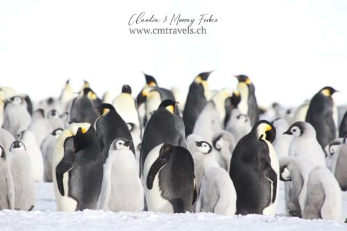 antarctica-Emperor-penguin-colony-polar-wildlife-travel