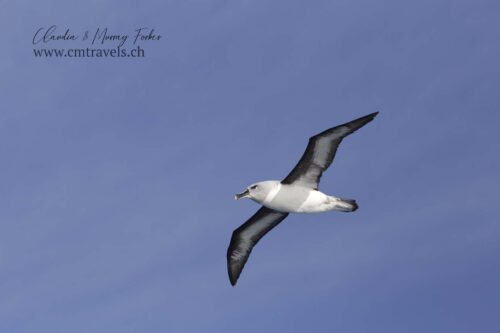 antarctica-albatross-polar-birds-wildlife-travel