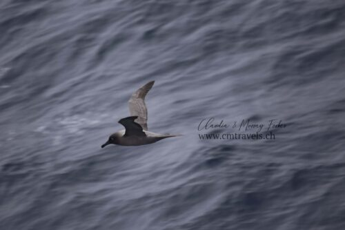 antarctica-sooty-albatross-polar-wildlife-travel