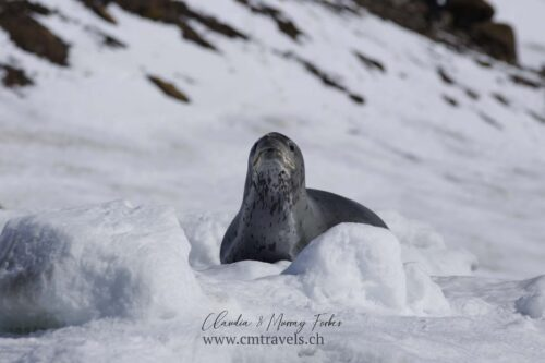 antarctica-leopard-seal-polar-birds-wildlife-travel