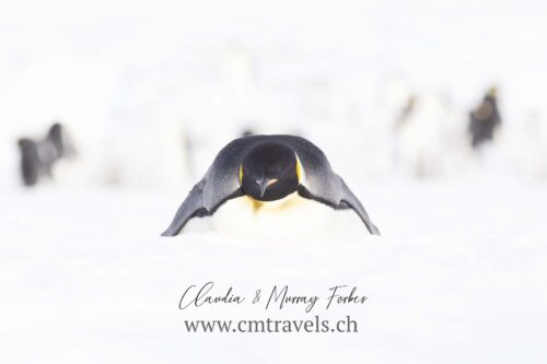 antarctica-emperor-penguin-polar-birds-wildlife-travel