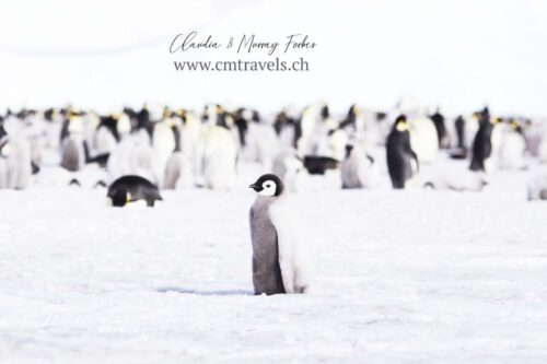 antarctica-emperor-penguin-chick-polar-birds-wildlife-travel