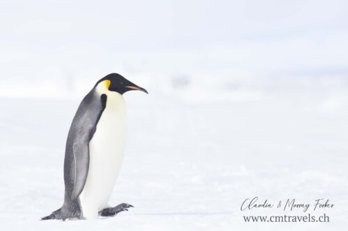 antarctica-emperor-penguin-walking-polar-birds-wildlife-travel