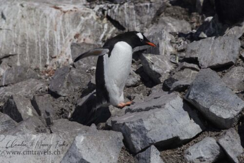 antarctica-gentoo-penguin-polar-wildlife-travel