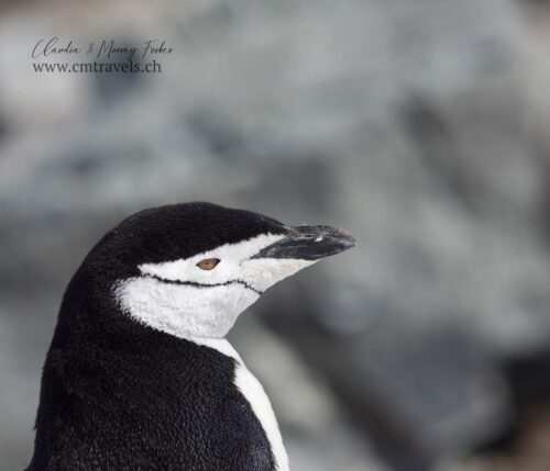 antarctica-chinstrap-penguin-polar-wildlife-travel