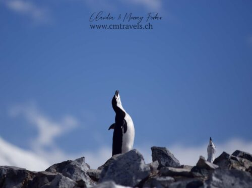 antarctica-chinstrap-penguin-calling-polar-wildlife-travel