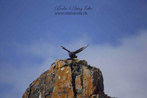 antarctica-arctic-skua-polar-wildlife-travel