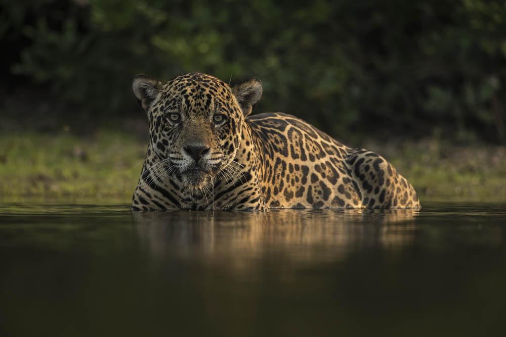Jaguar-Safari-Wildlife-Natur-Luxus-Reisen-Fotografie-CM-Reisen-Ozelot
