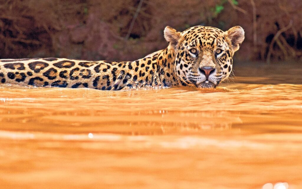Jaguar-Safari-Wildlife-Natur-Luxus-Reisen-Fotografie-CM-Reisen-Jaguar-male-swim