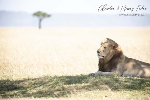 cm-travels-kenya-wildlife-nature-serian-serengeti-camp-lion-male