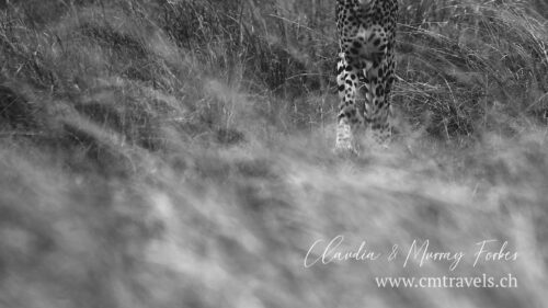 cm-travels-kenya-wildlife-nature-serian-serengeti-camp-cheetah-bnw