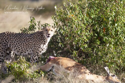 cm-travels-kenya-wildlife-nature-serian-serengeti-camp-cheetah-kill