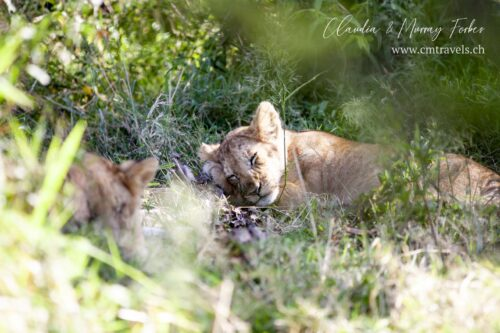cm-travels-kenya-wildlife-nature-serian-serengeti-camp-lion-cub-sleeping