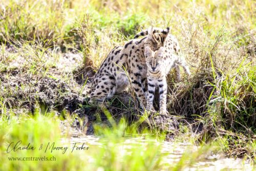cm-travels-kenya-wildlife-nature-serian-serengeti-camp-serval-mother-cub