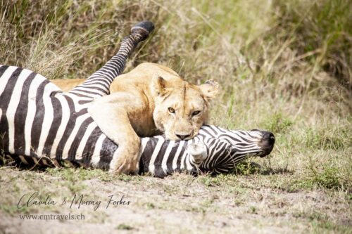 cm-travels-kenya-wildlife-nature-serian-serengeti-camp-lion-kill-zebra