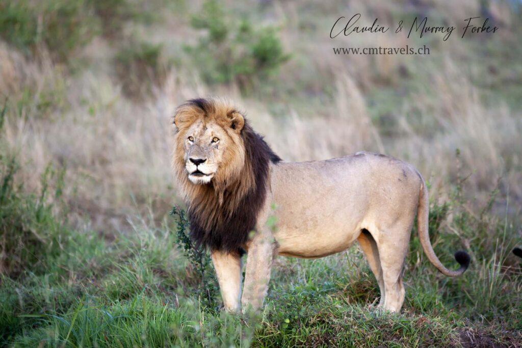 cm-travels-kenya-wildlife-nature-serian-serengeti-camp-lion-male-posing