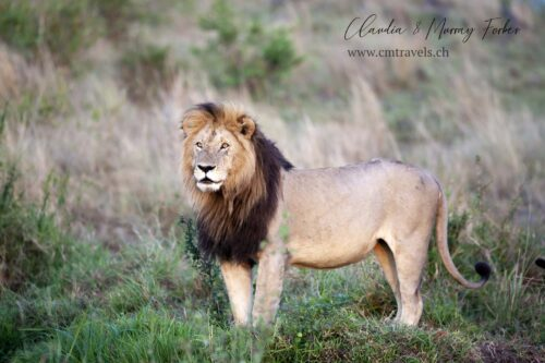 cm-travels-kenya-wildlife-nature-serian-serengeti-camp-lion-male-posing